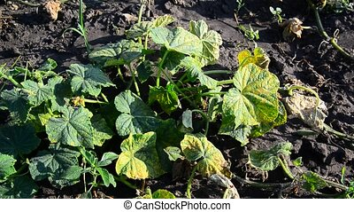 Yellowed leaves of cucumbers from drought - yellowed leaves...