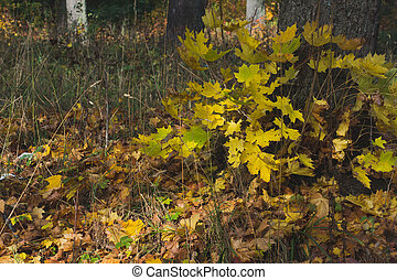 Yellowed leaves overgrown with young maple. autumn forest scene