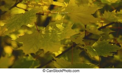 Yellowed maple leaves sway in a gentle breeze close up