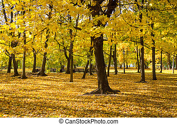 Yellowed maple trees in autumn park