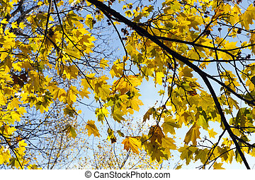 yellowing leaves on maple trees in the fall season. Blue sky in the background. Photo taken closeup. The foliage is illuminated by sunshine in a park.
