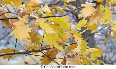 Yellowed Oak leaves fluttered in the wind (Quercus)