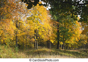Yellowed trees in the autumn forest. autumn forest scene