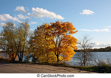 yellowed trees on the bank of the river against the background of a bright blue sky with white clouds. Autumn a sunny day
