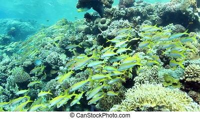 Yellowfin goatfish shoal - Huge shoal of Yellowfin Goatfish,...