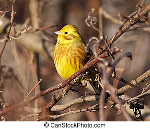 yellowhammer, árbol, perched