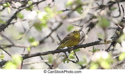 Yellowhammer amid spring pear flowering , wildlife