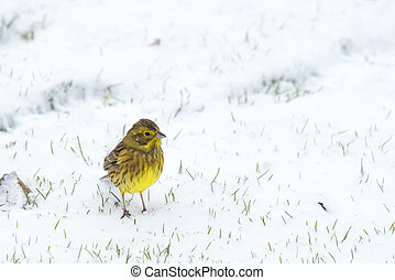 Yellowhammer bird looking for food