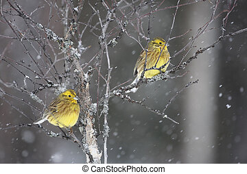 yellowhammer;, citrinella, emberiza