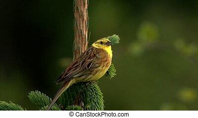 yellowhammer (Emberiza citrinella)