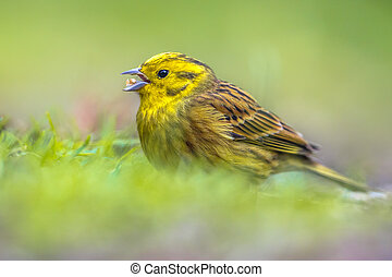 Yellowhammer foraging in grassy backyard