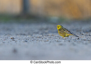 yellowhammer in the last rays of the sun to ride on the road