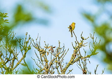 Yellowhammer in the top of a tree - High resolution photo in...