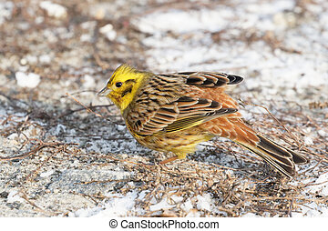 yellowhammer Kiev Ukraine