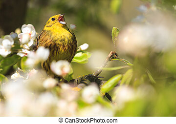 Yellowhammer singing the song of spring flowers