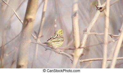 yellowhammer sings sitting in the bush , wild nature