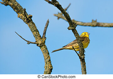 Yellowhammer sitting on a branch - High resolution photo in...