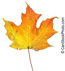 Yellowish Maple Leaf