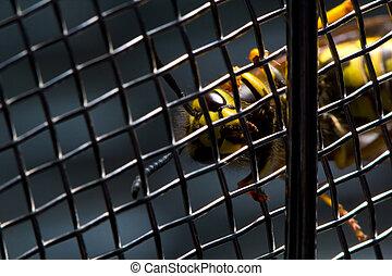 Yellowjacket wasp trapped behind metal mesh fence, clinging.
