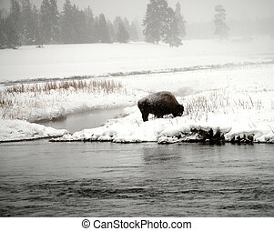 American bison in snowing Yellowstone National Park in winter