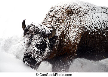 Yellowstone American Bison