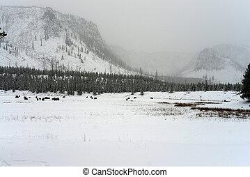 Yellowstone American Bison Herd