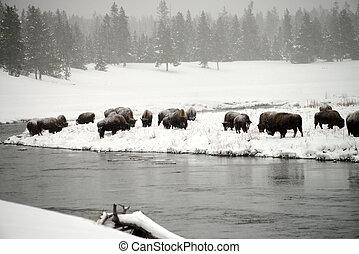 Yellowstone American Bison Herd - American bison herd in...