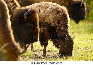 Yellowstone American Bison