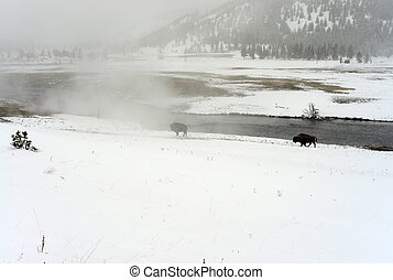 yellowstone, bisão americano
