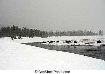 yellowstone, bisão americano, rebanho