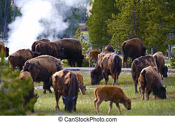 yellowstone, bisons