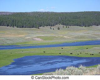 Yellowstone,  bisons