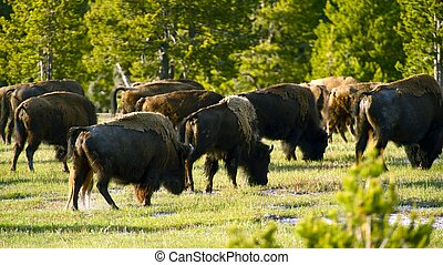 Yellowstone Bisons - Summer Day on a Meadow. American Bison...