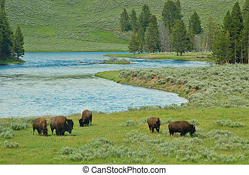 yellowstone, bizon