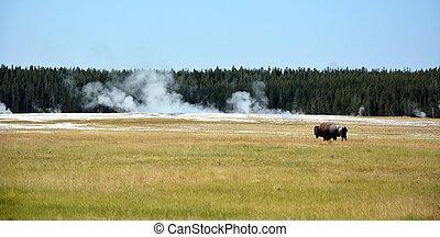 Yellowstone, nacional, parque,  bisons