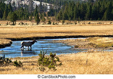 Yellowstone National Park: Wapiti Deer at Hayden Valley