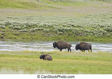 iconic buffalo beside the yellowstone river