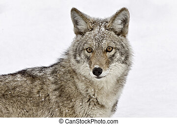 Yellowstone Park Wyoming Winter Snow coyote