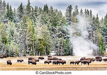yellowstone's, alimentación, palangana, géiser, bisonte