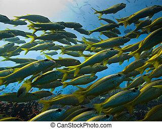yellowtail, 外科醫生, fish, 通過, 上, 大堡礁, 澳大利亞
