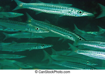 yellowtail, barracuda