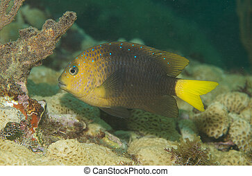 Yellowtail Damselfish, picture taken in south east Florida.