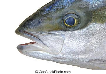 Yellowtail fish head - Closeup of head of yellow tail fish...