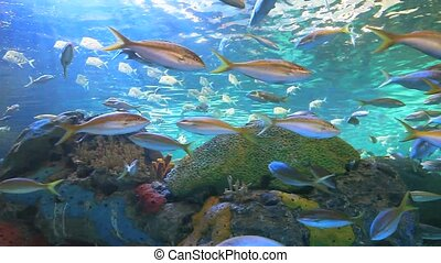 Yellowtailed Snapper and other tropical fish in a coral reef
