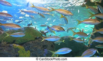 Yellowtailed Snapper swim with other tropical fish in a coral reef