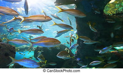 Yellowtailed Snapper swimming in a coral reef