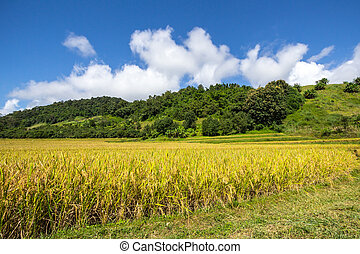 Yellow,Terraced Rice Field in Chiangrai, Thailand
