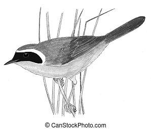 yellowthroat, macho, común