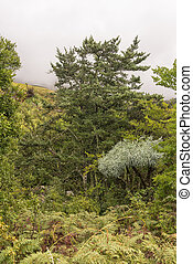 Yellowwood tree, Mountain Kiepersol and tree ferns in the Drakensberg