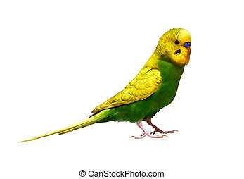 Yelow parrot on white background